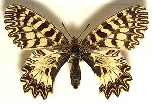 Zerynthia.polyxena.mounted.jpg