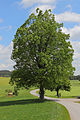 Zwei Sommerlinden bei Bruderndorferwaldhäuser 01 2015-05 NDM ZT-132.jpg