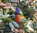 (1)Rainbow lorikeet 036.jpg