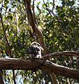 (1)kookaburra Devlins Creek.jpg