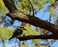 (1)kookaburra Heathcote NP 213.jpg