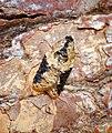 (1048) Acleris variegana (Gen Det) (36595800103).jpg