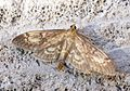 (1377) Perinephela lancealis - Flickr - Bennyboymothman.jpg