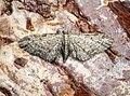 (1811) Slender Pug (Eupithecia tenuiata) (27938768534).jpg