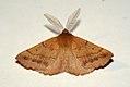 (1923) Feathered Thorn (Colotois pennaria) (4051702645).jpg