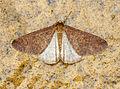 (1935) Mottled Umber (Erannis defoliaria) (22647725456).jpg