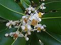(Calophyllum inophyllum) at VUDA Park 06.JPG