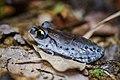 (possibly) Leptobrachium smithi - Khao Luang National Park (29887868465).jpg