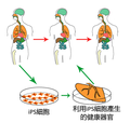 (zh)Ips cells.png