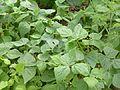 Đậu côve -Phaseolus vulgaris.JPG