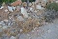 Χλωρίδα Σίφνου 9.jpg