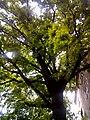 Віковий дуб, Прилуцький район, м. Прилуки, вул. Вокзальна, 36 74-107-5002 03.jpg