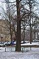Гінкго Сікорського. Фото 2.jpg