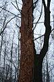 """Дерево, """"обработанное желной6.jpg"""