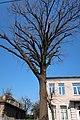 Дуб красавец по улице Архитектора Артынова, 24 в Винице. Фото 3.jpg