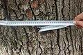 Дуб черешчатий перед аграрним коледжем 03.jpg