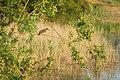 Очеретянка велика (Acrocephalus arundinaceus) на Бабковому ставку.jpg