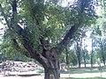 Русалка на ветвях сидит 2007г - panoramio.jpg