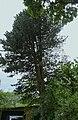 Сосна кедрова європейська, Труша 24.jpg