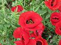 פרחי פרג בכפר נין 02.jpg