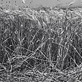 שדה חיטה בעמק-יזרעאל-JNF021276.jpeg