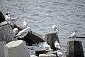 رفتار مرغان دریایی نوروزی یا یاعو در کشور عمان، شهر مسقط، ساحل دریای عمان - عکس مصطفی معراجی 22.jpg