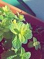 نبتة النعناع.jpg