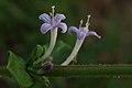 நத்தைச்சூரி பூக்கள் - Shaggy Button Weed Flowers - Spermacoce articularis.jpg