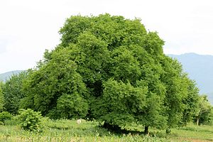 Lists of trees - Tamarindus indica, a tree in India