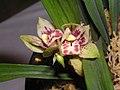 四季小龍梅 Cymbidium ensifolium 'Small Dragon Prune' -香港沙田國蘭展 Shatin Orchid Show, Hong Kong- (12147304384).jpg