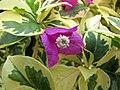 斑葉紫花光葉子花 Bougainvillea glabra 'Variegata' -深圳蓮花山公園 Shenzhen Lianhuashan Park, China- (11205388346).jpg