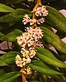 毛舌蘭屬 Trichoglottis rosea v breviracema -台南國際蘭展 Taiwan International Orchid Show- (39964906325).jpg