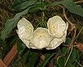 毬蘭屬 Hoya danumensis -香港公園 Hong Kong Park- (31206027722).jpg
