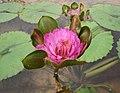睡蓮-紅蟹爪 Nymphaea Nangkwaug Dang -深圳洪湖公園 Shenzhen Honghu Park, China- (32102409253).jpg