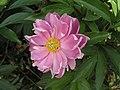 芍藥-紅蓮獻金 Paeonia lactiflora 'Red Lotus presenting Gold' -北京植物園 Beijing Botanical Garden, China- (12403896593).jpg