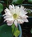 荷花-複瓣白蓮型 Nelumbo nucifera Multiple-series -澳門龍環葡韻 Macau Lotus Show, China- (9237445937).jpg