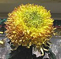 菊花-稻浪 Chrysanthemum morifolium 'Paddy Wave' -香港圓玄學院 Hong Kong Yuen Yuen Institute- (12026694124).jpg