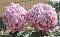 菊花-紫岫玉 Chrysanthemum morifolium 'Purple Xiuyan Jade' -香港圓玄學院 Hong Kong Yuen Yuen Institute- (12049596373).jpg