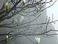 黄山玉蘭 Yulania cylindrica - panoramio.jpg