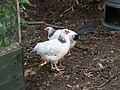 -2020-07-14 Young Light Sussex chickens, Trimingham (2).JPG