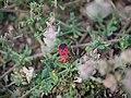 ... bug -- red silk cotton bug ... ¿ Dysdercus koenigii ? (7260470728).jpg
