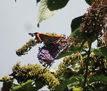 ... butterflies at last. - Flickr - BazzaDaRambler.jpg
