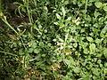 000006 Weißblühende Blumen unbekannt.JPG