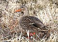 029 - MEXICAN MALLARD (1-21-2017) female, patagonia lake, santa cruz co, az -01 (32482525295).jpg