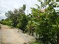 09671jfVillage Creek Atis Banana Plants San Miguel Bulacanfvf 04.JPG