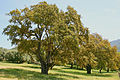 0 Quercus suber - Filitosa JPG1.jpg