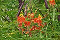 170407 Red Pride of Barbados.jpg
