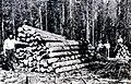 1913. Treating lodgepole logs for bark beetles. These are the infected logs before slashings are thrown on. Limbs from logs should be piled in order to be burned successfully. Ochoco National Forest, Oregon. (37739147975).jpg