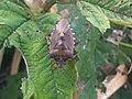 1 - Pentatoma rufipes 8 - Putney Heath Common 2011.08.02.jpg