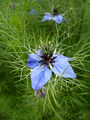 2007-10-25Nigella damascena 08.jpg